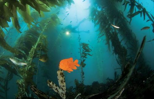 世界上生长最快的植物之一的巨藻不仅失去了原有